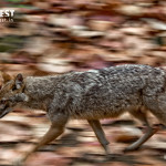 Jackal running at Corbett Tiger Reserve