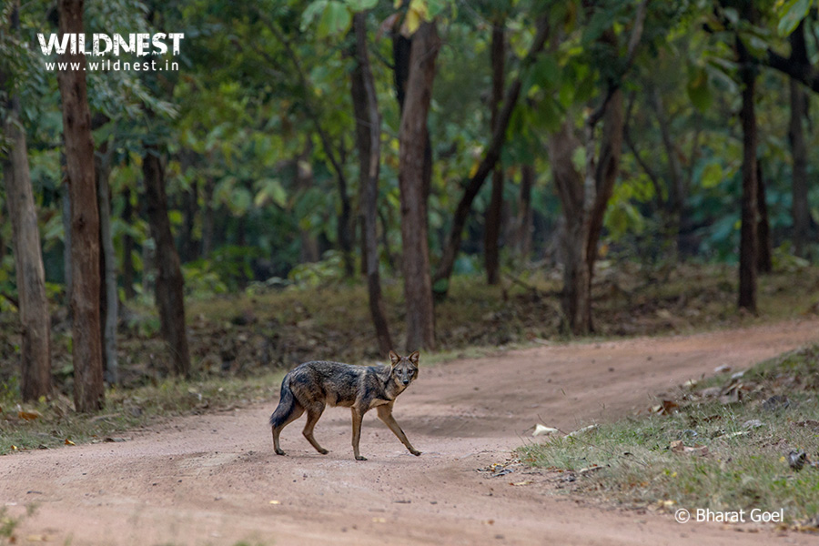Jackal in habitat at Panna National Park