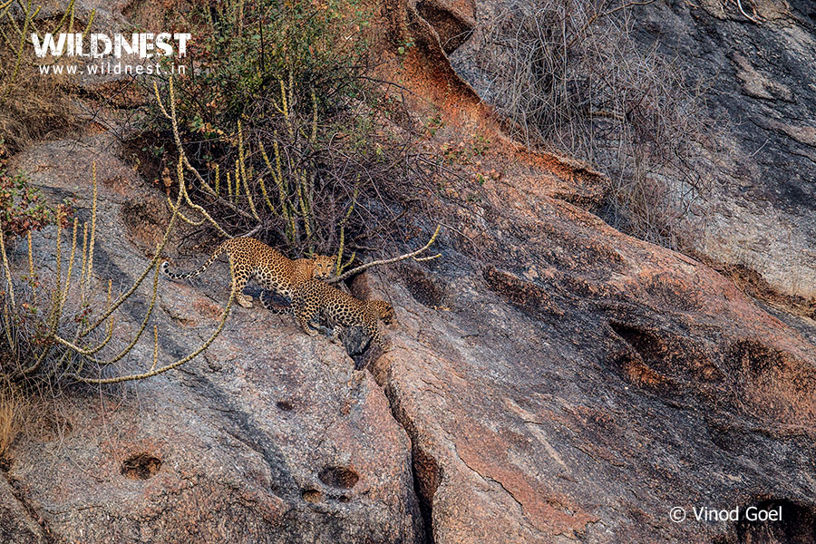 Leopard with cub on machan at Bera