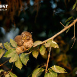 Owlet courtship at delhi