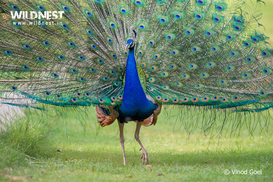 Peacock displaying at delhi