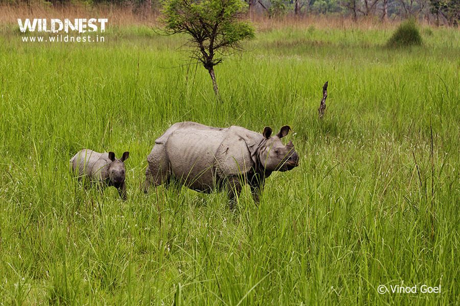 Rhino with Baby at Dudhwa National Park