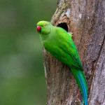 Rose Ring Parakeet at Bandipur National Park