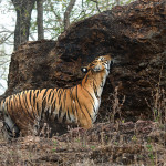 Tiger on machan at Tadoba Andhari Tiger Reserve