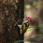 Woodpecker at Tadoba Andhari Tiger Reserve