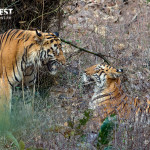 Tiger courtship at Tadoba Andhari Tiger Reserve