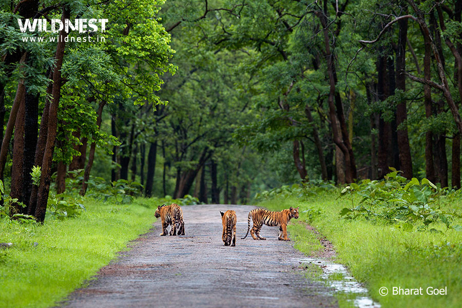 Tiger Cubs at Tadoba in Monsoons