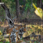male & Female tiger at tadoba andhari tiger reserve