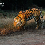 Tiger hunting in the morning at Tadoba Andhari Tiger Reserve