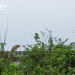 leopards at rajaji national park