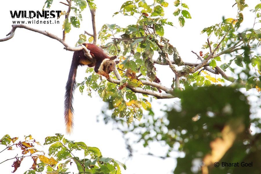 Malabar Gaint Squirrel at Satpura National Park