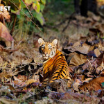Tiger Cub at Tadoba Andhari Tiger Reserve
