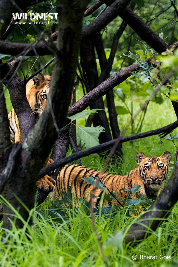 trip to tadoba tiger reserve The tadoba-andheri tiger reserve, situated in the chandrapur district of maharashtra, spans over 625 square kilometres it became one of india's 28 project tiger reserves as recently as 1993.