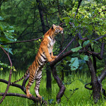 standing tiger at Tadoba Andhari Tiger Reserve
