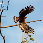 Eagle in flight at tadoba andhari tiger reserve