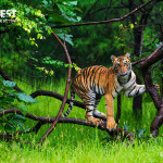 tiger cub playing at Tadoba Andhari Tiger Reserve