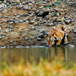 tiger drinking water at tadoba andhari tiger reserve