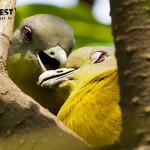 Courtship of Yellow Footed Green Pigeon in Delhi