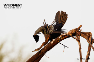 Indian Darter at Bharatpur Wildlife Sanctuary