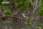 common sandpiper at sundarbans tiger reserve