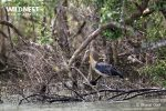 lesser adjutant stork at sundarbans tiger reserve