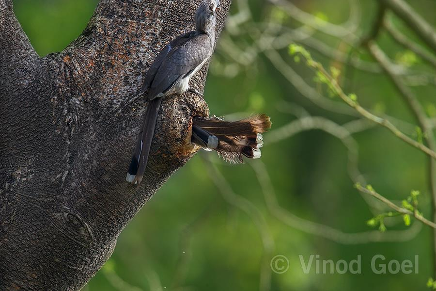 Indian Grey Hornbill Female enter into the cavity at Delhi