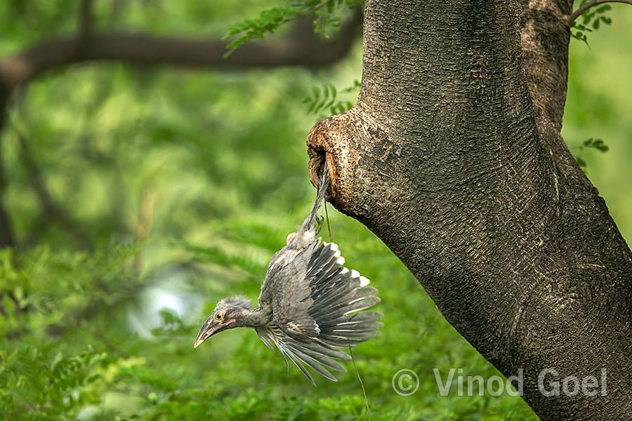 Indian Grey Hornbill chick coming out in the cavity at Delhi