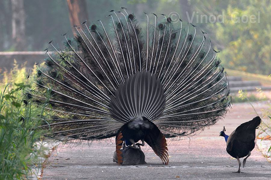 A peacock mounting over a peahen during courtship for mating at Delhi