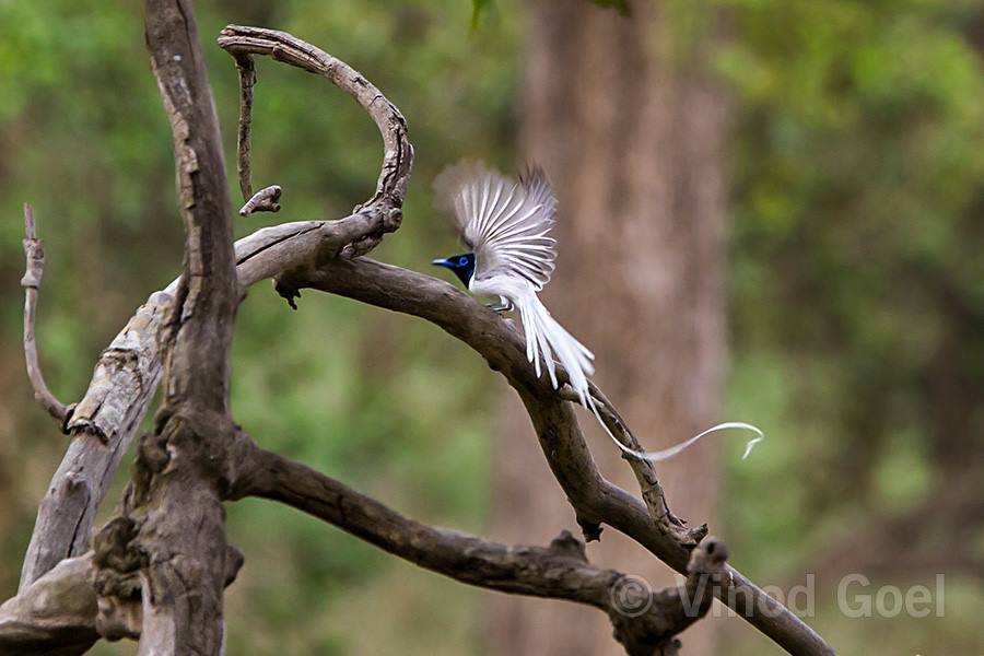 Asian Paradise Flycatcher at Rajaji National Park