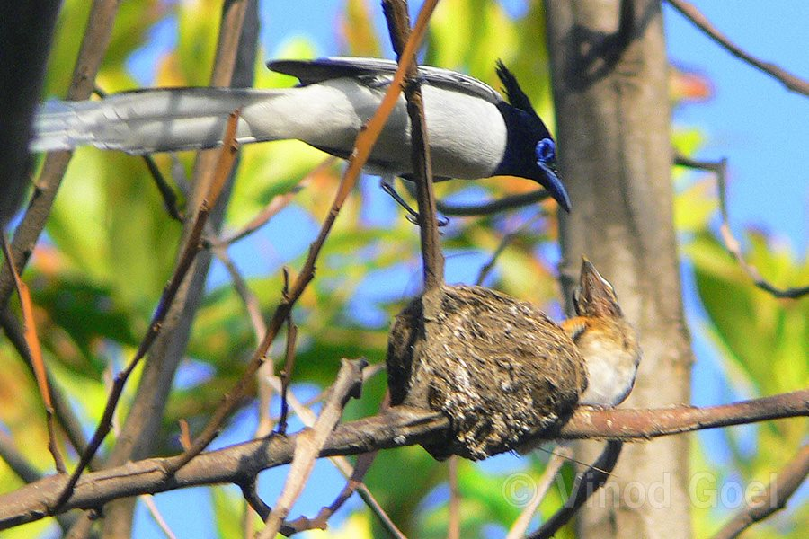 Asian Paradise Flycatcher feeding baby at Rajaji National Park