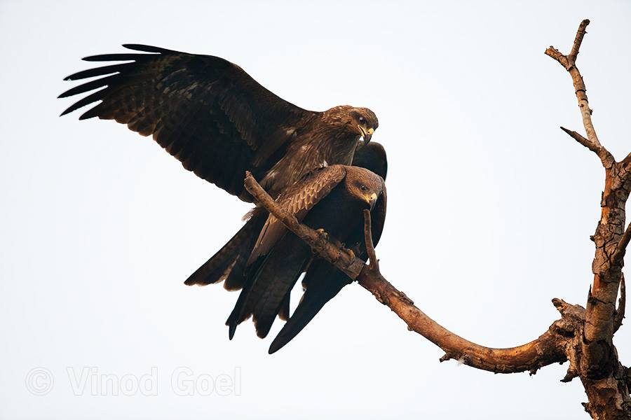 Black Kite Mating at Delhi