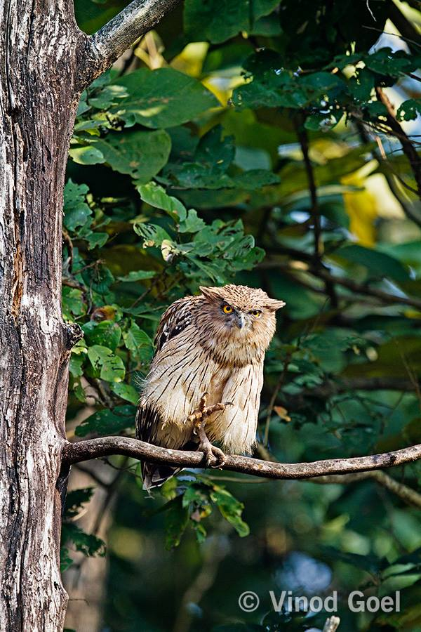 Brown Fish Owl at Dudhwa