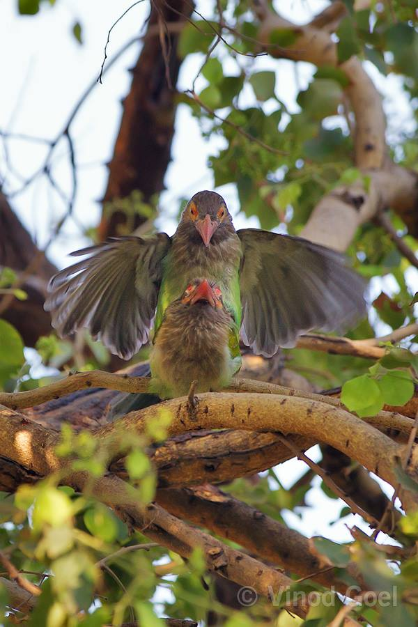Brown-headed barbet Mating