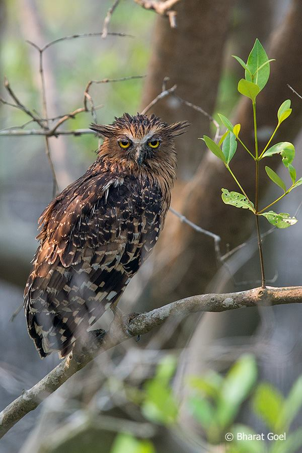 Buffy Fish Owl at Sundarban
