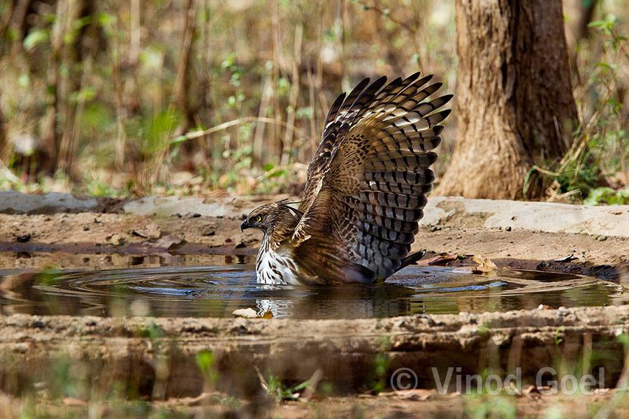 Changeable hawk Eagle cooling in the water hole in summer at Nagzira
