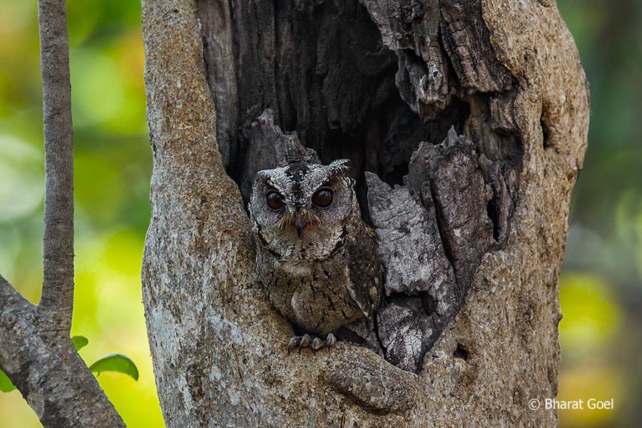 Collared Scops Owl at Pench