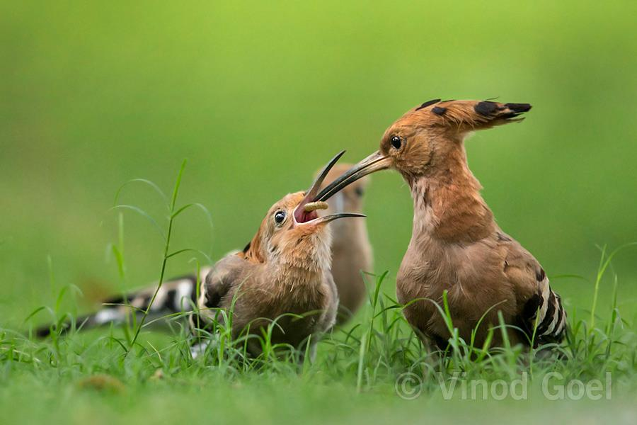 Common Hoopoe Courtship at Delhi
