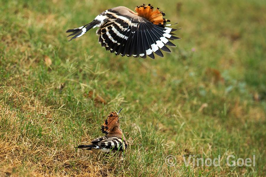 Common Hoopoe flying over the female and female asking for the food at Delhi
