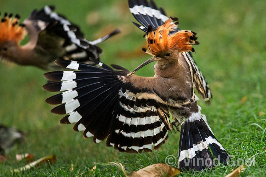 Common Hoopoe flying with larva to feed the female at Delhi