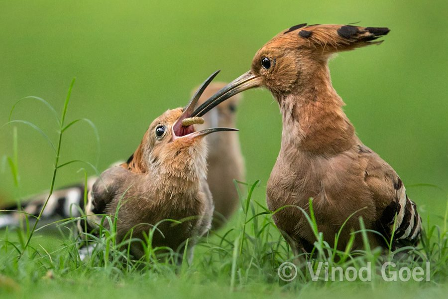 Common Hoopoe (male ) feeding the female during courtship at Delhi