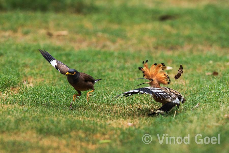 Common Hoopoe tryng to ward off Myna at Delhi