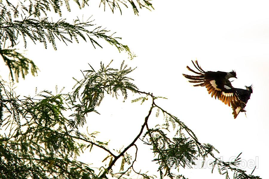 Courtship of Pied Crested Cuckoo in air at Delhi