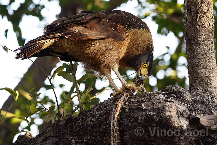 Crested Serpent eagle feeding on a Burmese python at Dudhwa Tiger Reserve