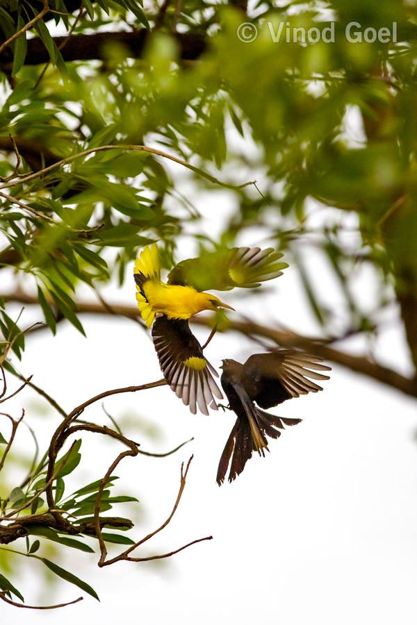 Golden Oriole & Drongo Fight at Delhi