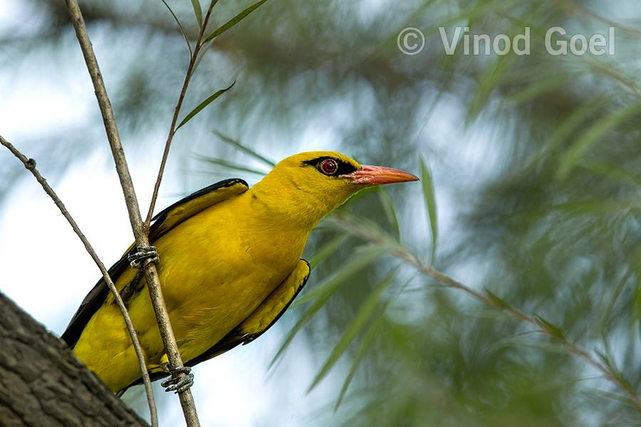 Golden Oriole at Delhi