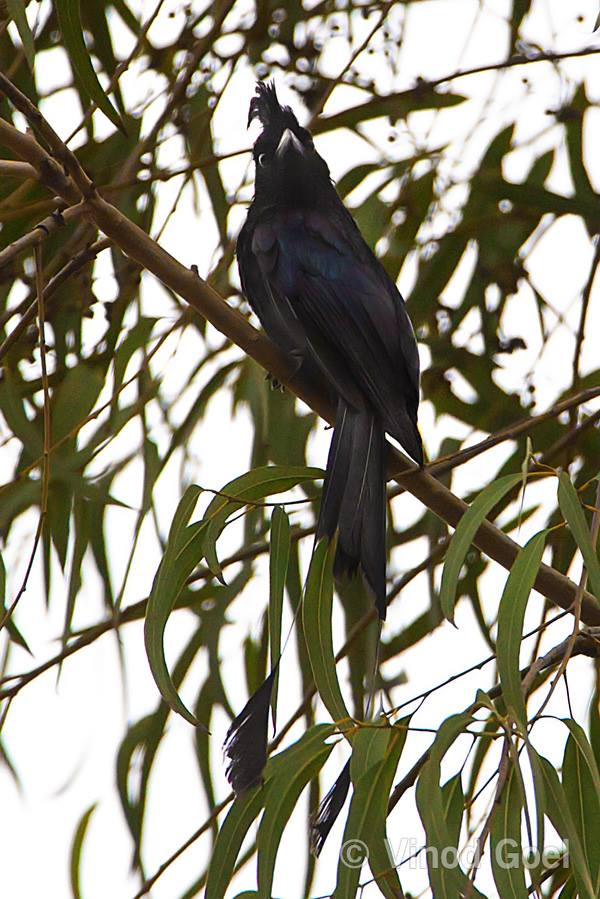 Greater Racket tailed Drongo Delhi
