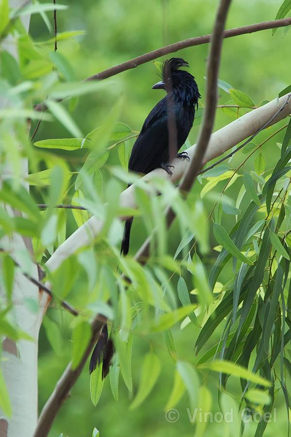 Greater Racket tailed Drongo at Delhi