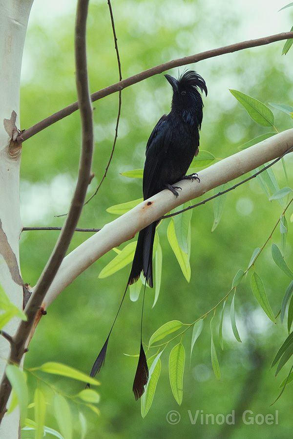 Greater Racket tailed Drongo at Delhi1