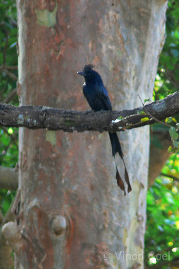 Greater Racket tailed Drongo at Pench