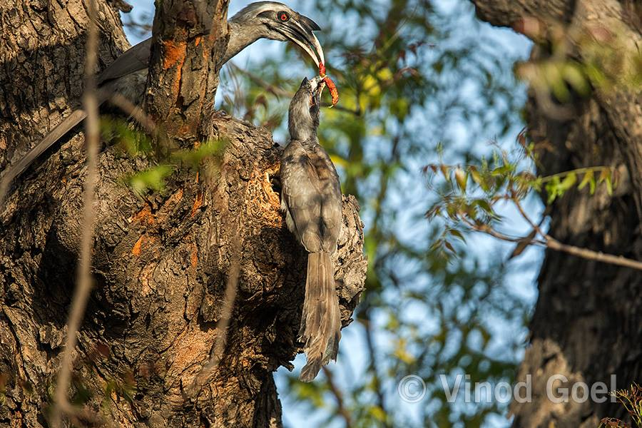 Indian Grey Hornbill Courtship at Delhi